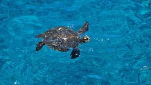 big island hawaii ka lae sea turtle