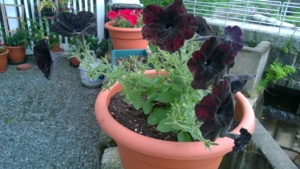 back yard of condo and my black velvet petunias