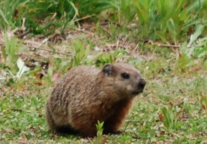 groundhog / whistle pig in our neighbor's yard