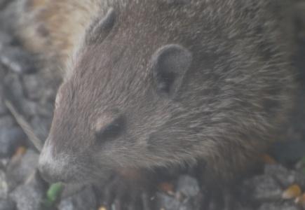 Groundhogs! – aka Whistle Pigs