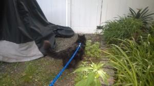 bonkers on leash in front yard