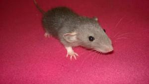 baby rat kona - a medium grey dumbo