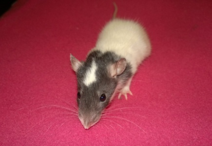 Invasion of the Rat Babies!