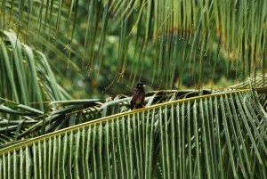maui hawaii mynah bird in palm tree