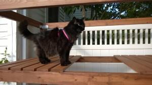 bonkers investigating outdoor cat enclosure / catio leash