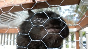 bonkers rubbing his face on the chicken wire of the outdoor cat enclosure / catio