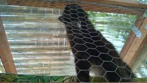 bonkers enjoying the outdoor cat enclosure / catio