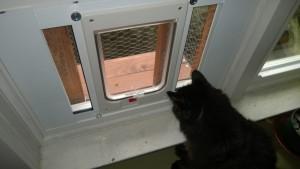 bonkers using the outdoor cat enclosure / catio cat door in the dining room window