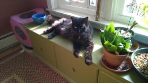 bonkers guarding the outdoor cat enclosure / catio cat door in the dining room window