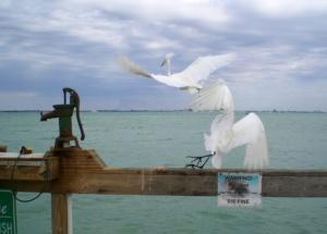 sanibel fl birds fighting over fish