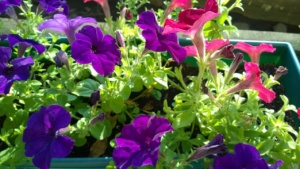 red and purple petunias in our yard