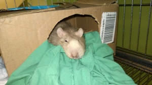 franc after returning from the vet & getting his abscess drained