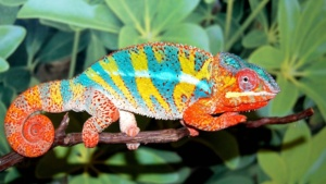 i found another chameleon picture with a very colorful head