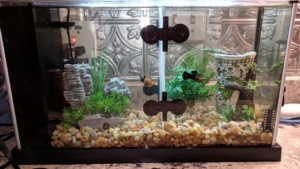 i put up a fish tank divider to keep the male and female separate
