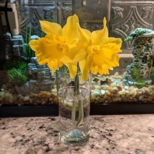 daffodils from neighbor kathy