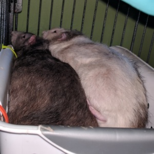 winston and killy snuggling in one of their cage bins