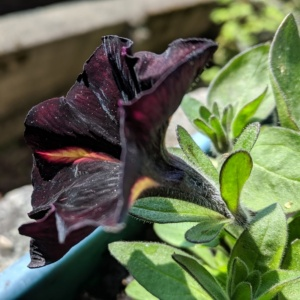 i love black petunias and try to find them each spring