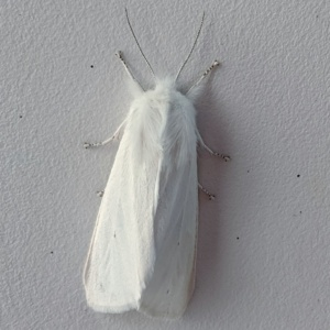 a white moth with silver antennae and feet