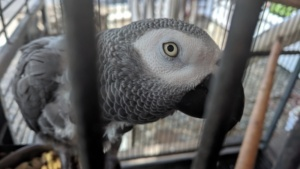 alex, the resident african grey parrot at the pioneer inn, maui
