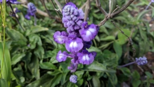 purple flowers, maui