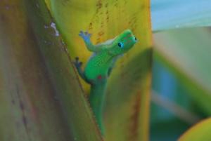 gold dust day gecko maui hawaii