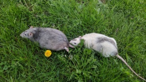winston and killy playing in the park, and dandelion