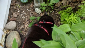 darwin enjoying a dirt bath in neighbor kathy's garden