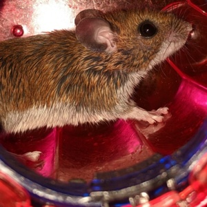 a basement caught mouse running in the wheel before release