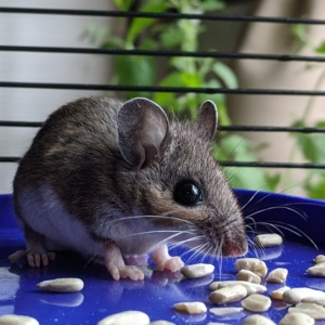 a basement caught mouse eating seeds before release