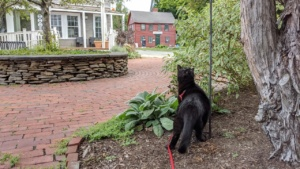 darwin on his harness leash enjoying life outside the back door