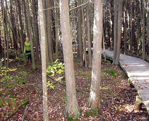 Atlantic White Cedar Swamp Trail