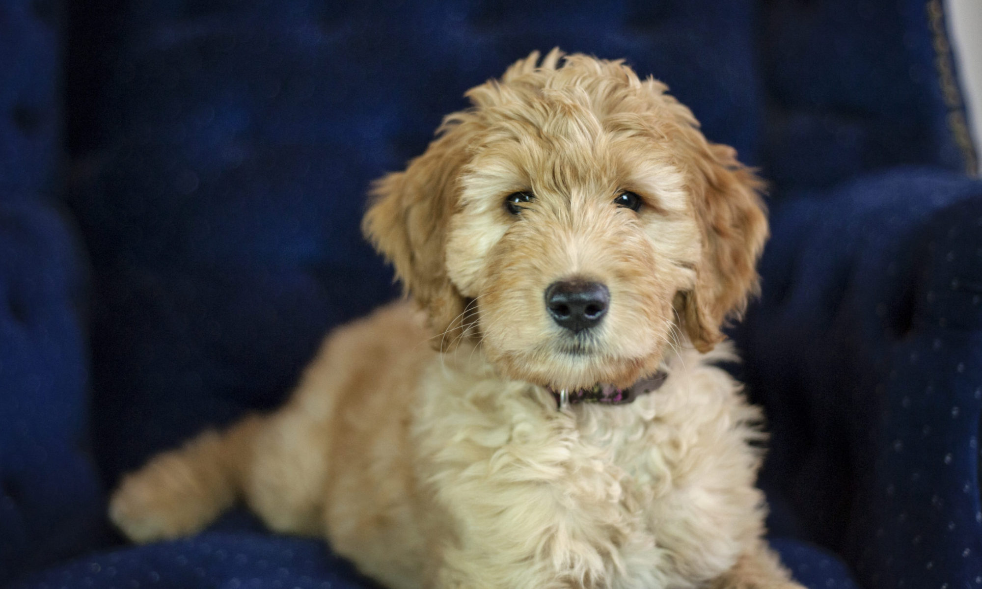 Gertie's Goldendoodles - Family Raised Goldendoodle Puppies for Sale