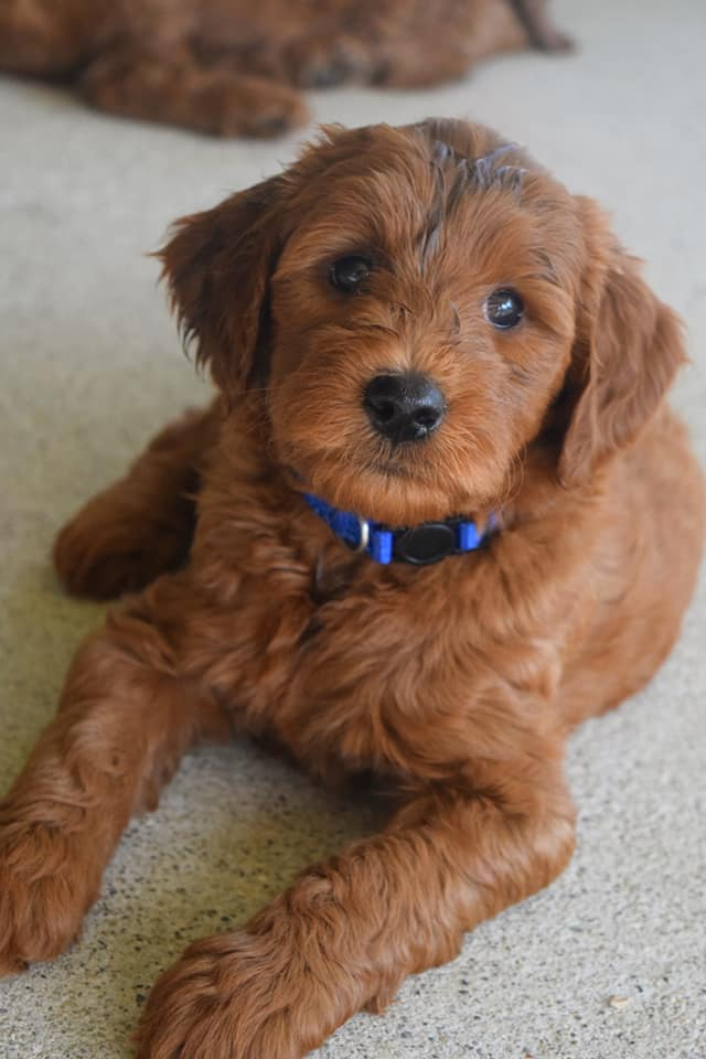 Puppy Bridget