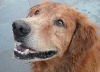 How To Keep Your Elderly Dog Healthy