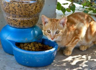 Using Nutrition to Manage Diseases in Cats