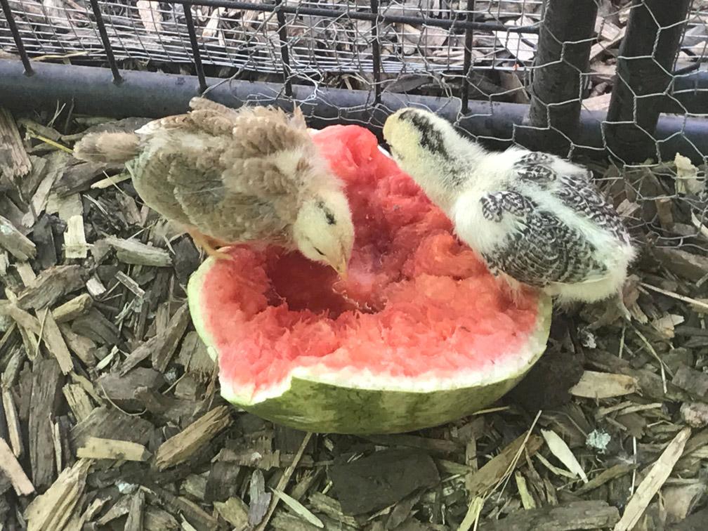 Chicks with Watermelon at Almosta Farm Cove Oregon