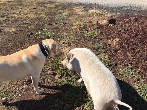 Dog and Pig at Almosta Farm Cove Oregon