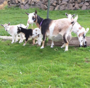 Goat with Kids at Almosta Farm Cove Oregon