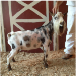 ADGA Registered Nigerians goats available for sale at Almosta Farm in Cove, Oregon