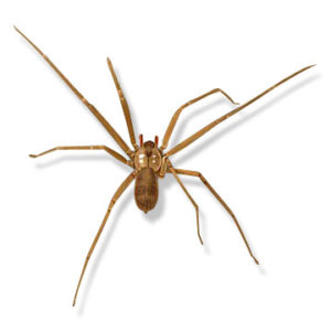Fiddleback brown recluse spider control