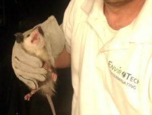 possum-in-hand
