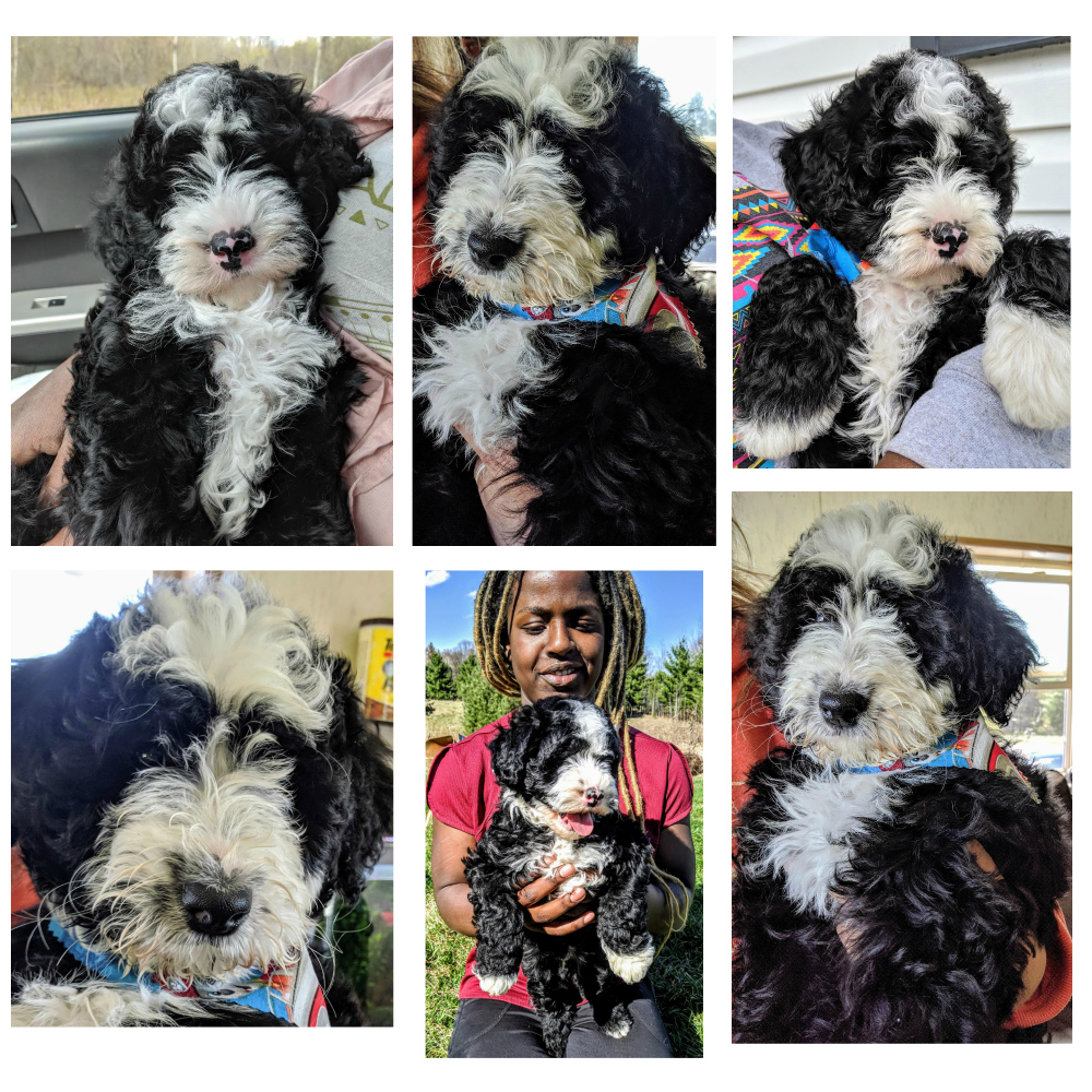 sheepadoodle puppies from doodle dog hill
