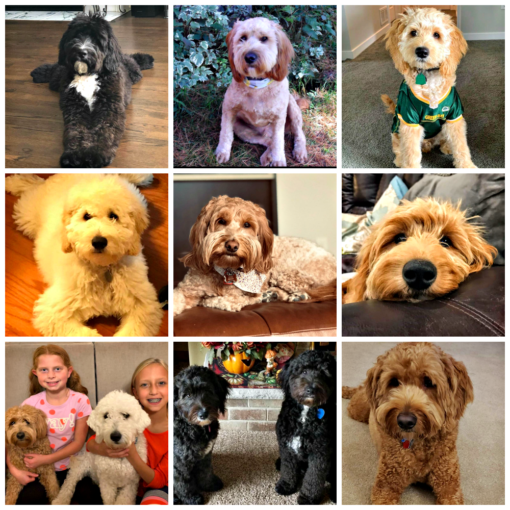 Doodle Dog Hill Puppies_5