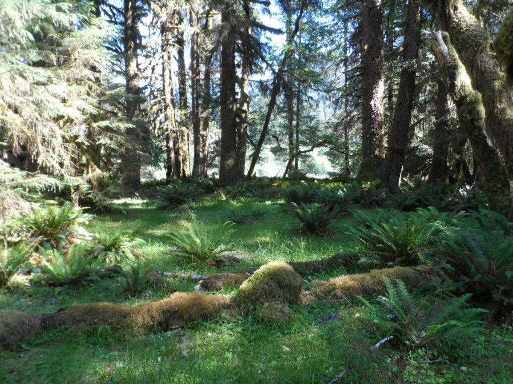 Forest with evergreens, ferns, and dappled sunshine.