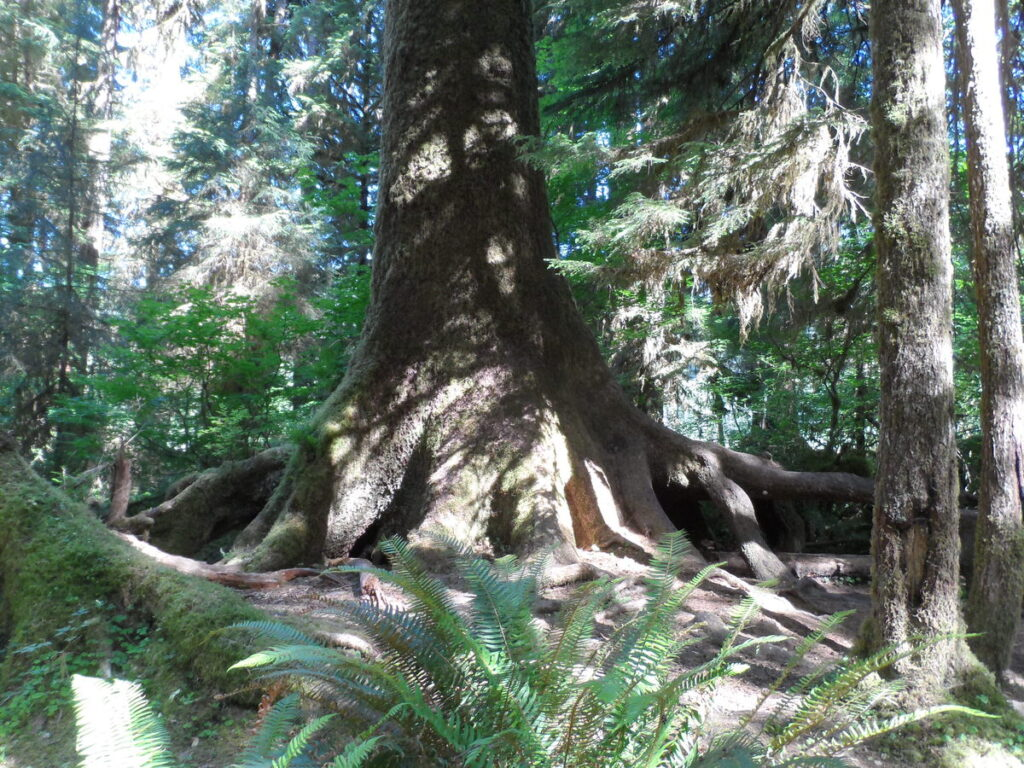 Giant roots and tree trunk, surrounded by ordinary sized trees.