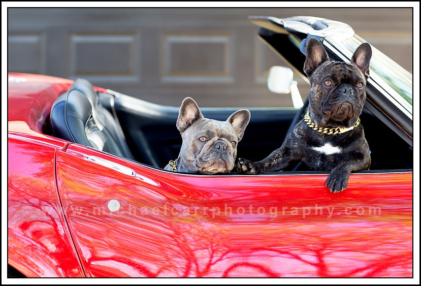 French Bull Dogs Family Photography Houston