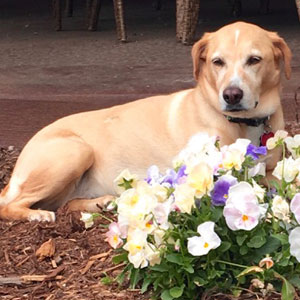 dog lying down outside next to flowers
