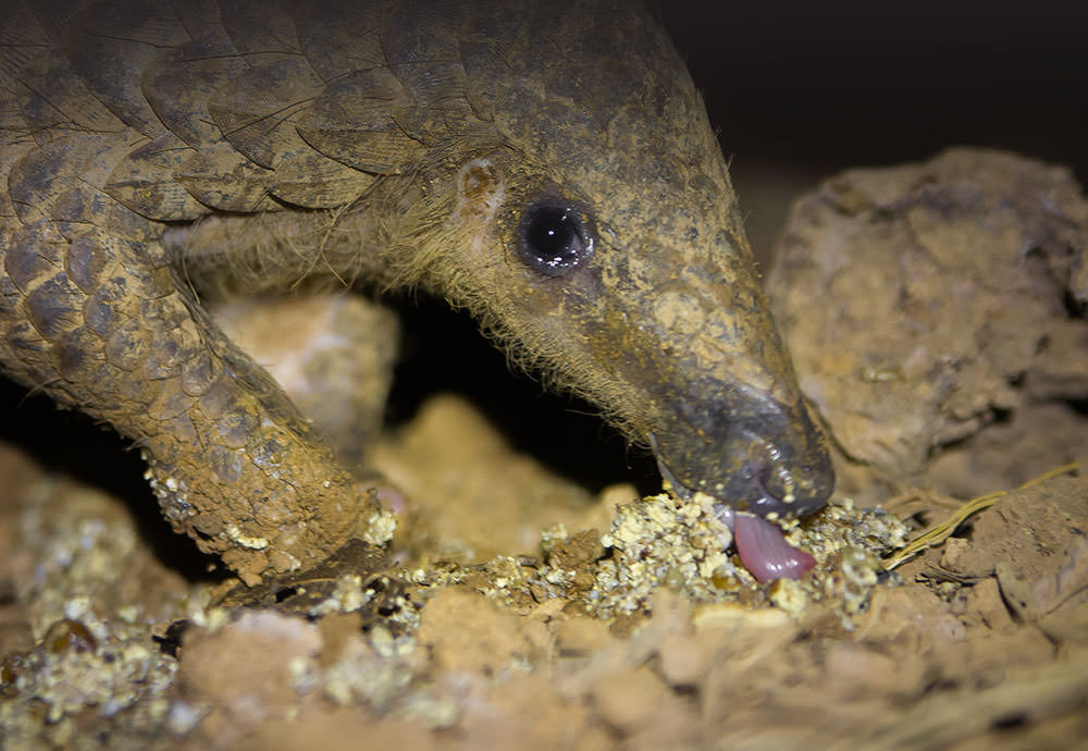 We spend 100K USD every year for frozen ants for the rescued pangolins.