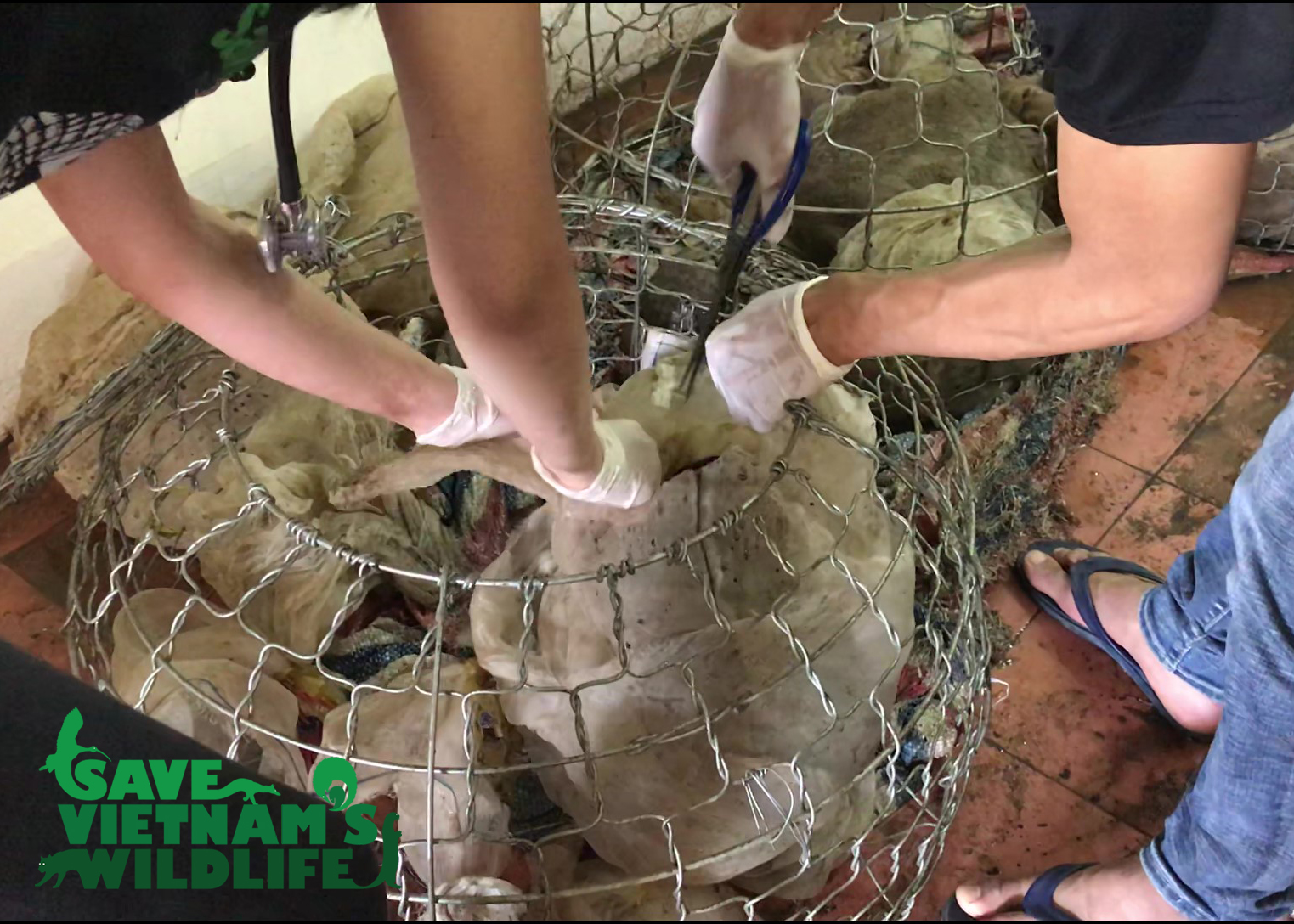 15 Sunda Pangolins rescued closed to the border with Laos