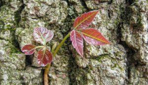 poison-ivy-spring-BlueSkyRain.com